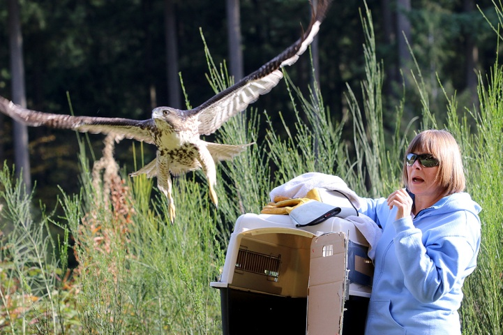 MARIO BARTEL/THE TRI-CITY NEWS A young female red-tailed hawk that was rescued by Coquitlam city workers is released along the hydro right-of-way on Mariner Way by Carol Norris, of Outdoor Wildlife Rescue (OWL), last Wednesday. Bird releases are always a bit of a photographic gamble as to when the bird will actually take off, which direction it will take, and can my finger react on the shutter button quickly enough.